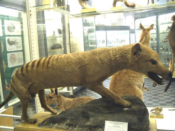 Чучело сумчатого волка в музее