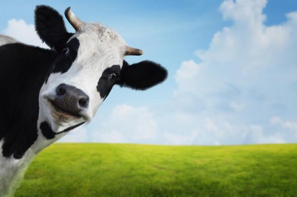Зачем корове рога?