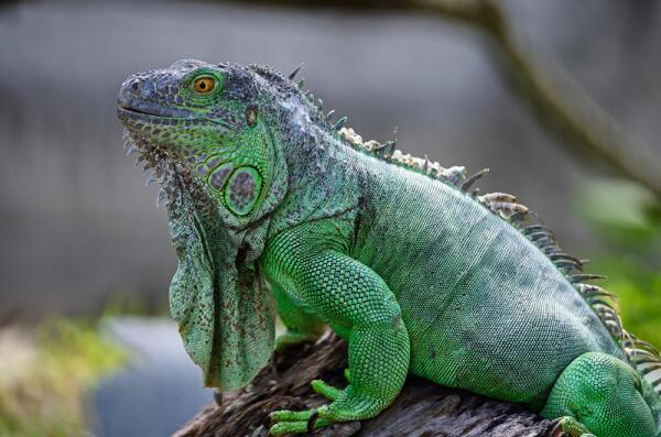 Как содержать экзотическое животное в домашних условиях? Игуана.