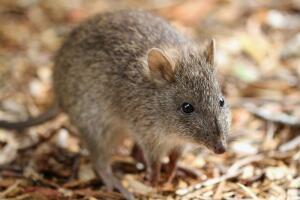Все знают, что крысы - признанные интеллектуалы животного мира, они все прекрасно понимают и помнят: два раза на одни и те же грабли не наступают.
