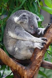 Устала коала.