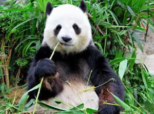 За что панда любит бамбук?