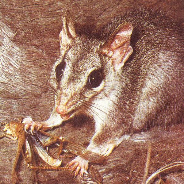 Сумчатая мышь тафа.