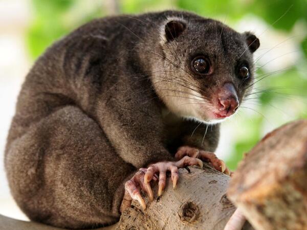 Что известно о сумчатых кротах, муравьедах, мышах и прочих «двойниках» плацентарных млекопитающих?