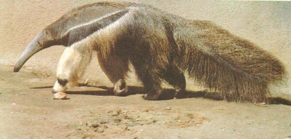 Большой муравьед, или юруми.