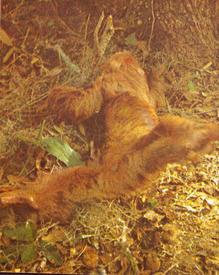 Ленивец совершает марш-бросок к другому дереву.