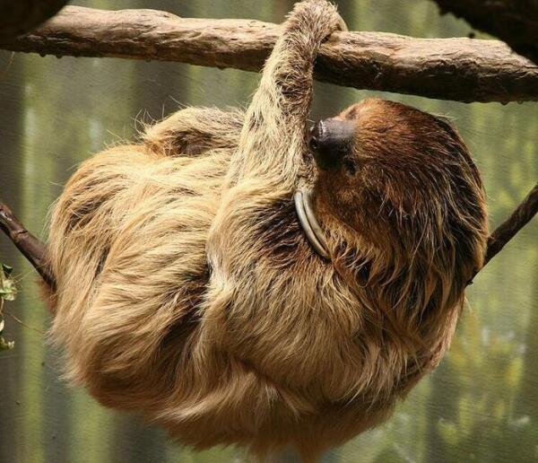 Двупалый ленивец.