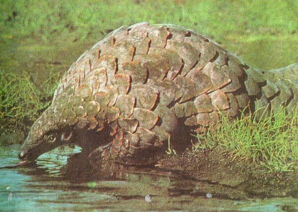 Гигантский ящер— самый крупный из панголинов (до 1,5м с хвостом).