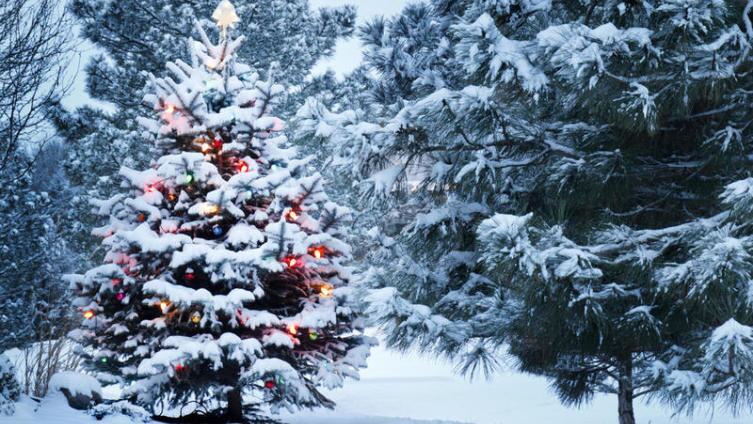 Почему ель – новогоднее и рождественское дерево?