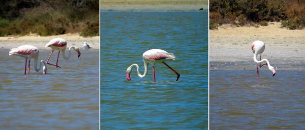 Фламинго пляжа Симиус