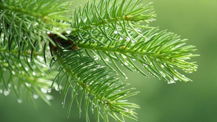 Чем помогают здоровью продукты хвойного леса?