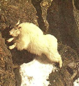 Снежная коза - лучшая альпинистка