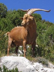 Безоаровый козёл - предок домашних коз