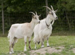 Как овцы съели людей, а козы - Грецию?