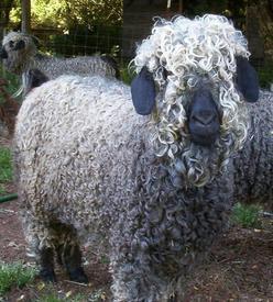 Цветная ангорская коза