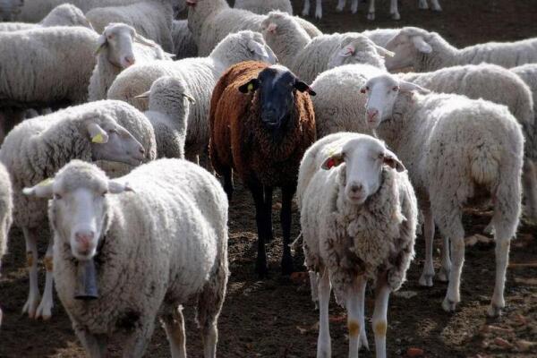 Чёрная овца