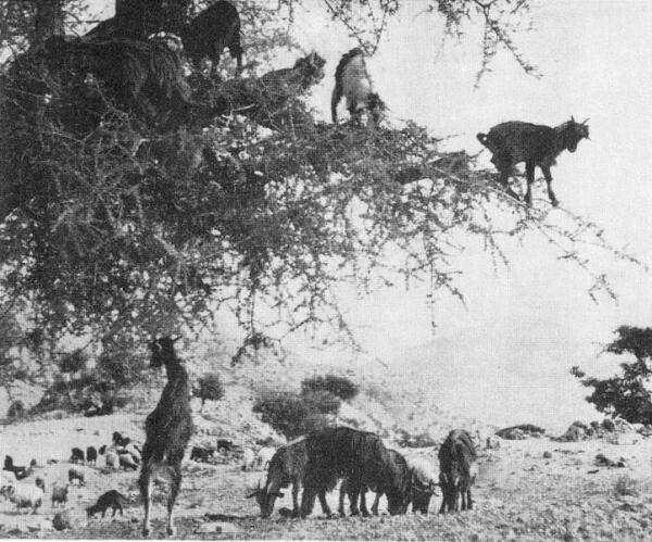 Козы настолько ловкие существа, что способны забираться даже на деревья.
