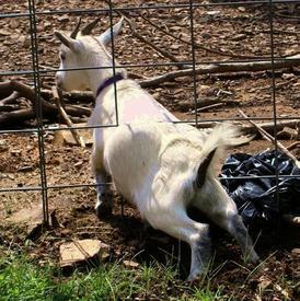 Коза изобретательна и любопытна, любит осваивать новые территории.