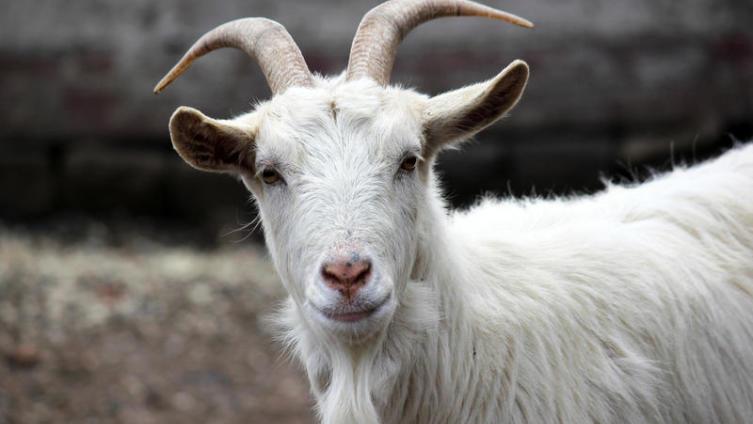 Где в России стоит памятник козе?