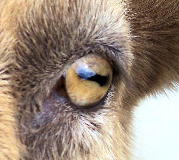 Взгляд у козы, конечно, жутковатый.