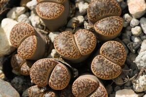 Литопсы. Как вырастить цветущие камни?
