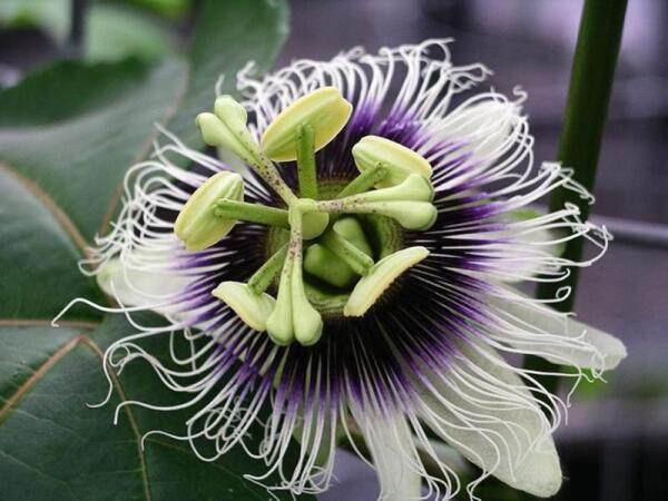 Цветок маракуйи - национальный цветок Парагвая