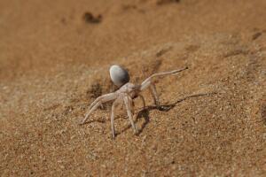 Кто живёт в песках пустыни Намиб?