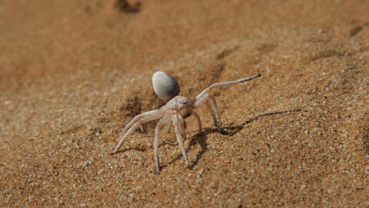 Паук Carparachne aureoflava – золотой катящийся паук