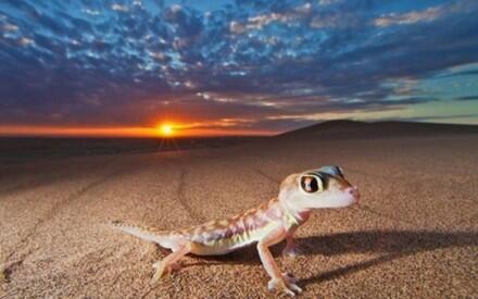 Перепончатолапый геккон