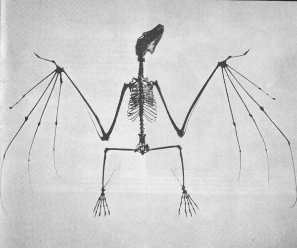 Скелет летучей мыши.
