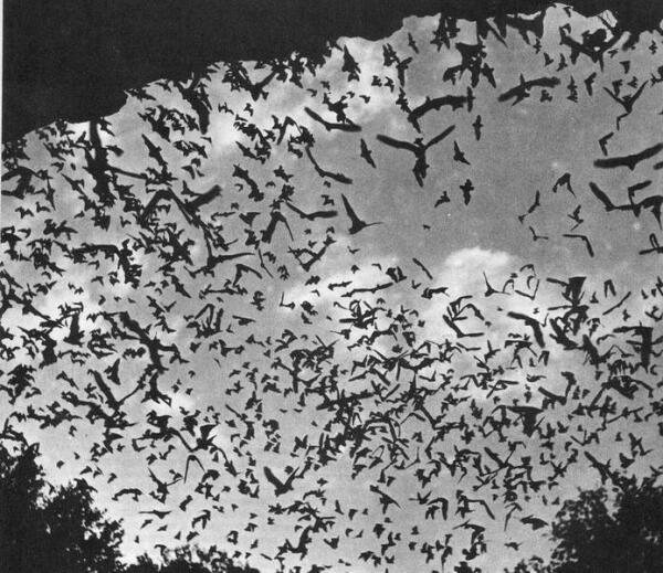 Стая летучих мышей вылетает из пещеры.