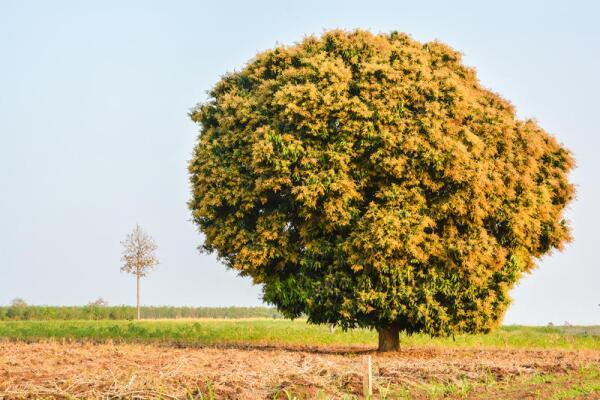 Цветущее дерево манго