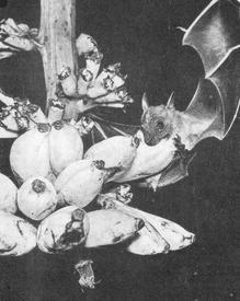Крылан лакомится плодами