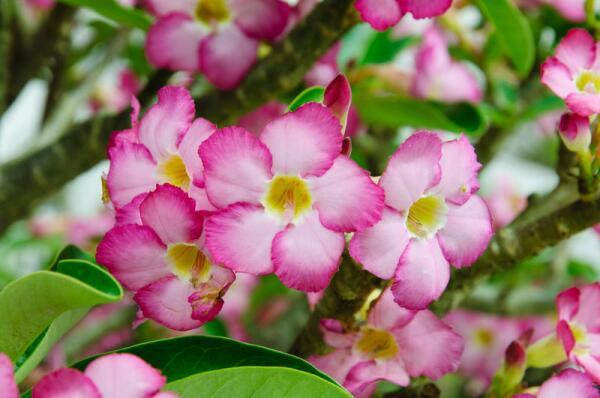 Адениум - роза пустыни. Как вырастить её в домашних условиях?