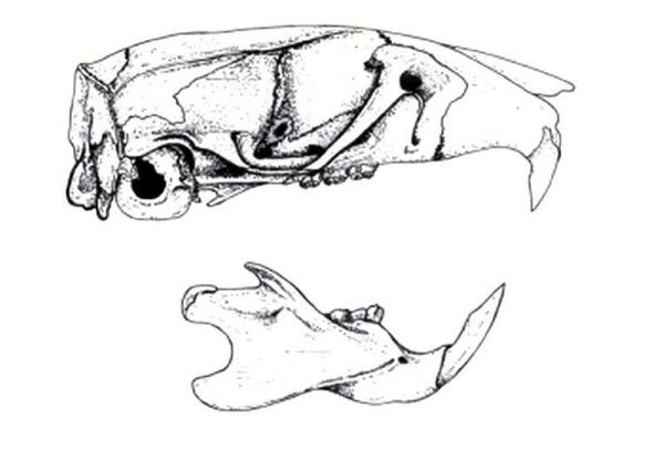 По черепу легко заметить, что в зубной системе грызунов есть заметный пробел между резцами и коренными.