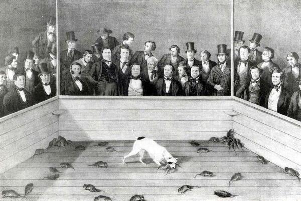 Травля крыс собаками.
