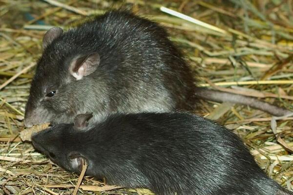 Чёрная крыса.