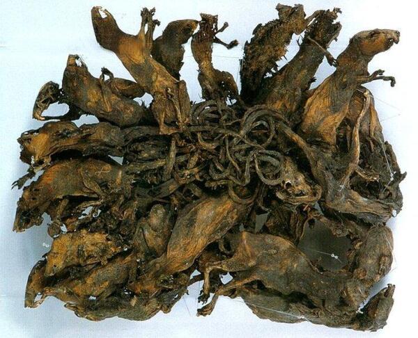 В Тюрингии, в г. Альтенбург имеются мумифицированные останки самого большого из известных науке «Крысиных королей» (32 крысы), найденного на мельнице в 1828 году.
