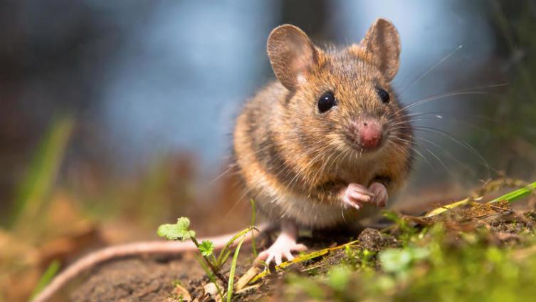 Могут ли крысы и мыши быть полезными, почитаемыми и съедобными?