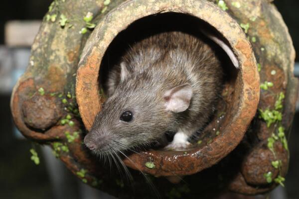 Почему крысиный король не бежит с корабля? Крысы и мыши в лингвистике