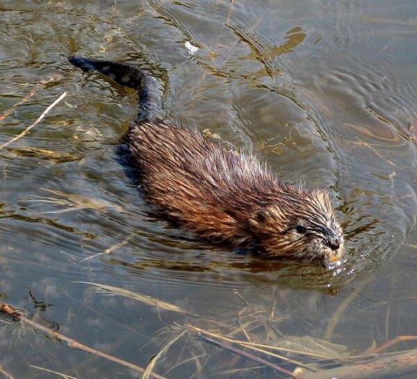 В 1920-40-е годы, когда мех ондатры был особо модным, её даже прозвали «Гудзоновским тюленем».
