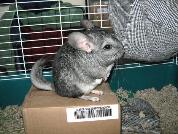 Шиншилла - тот же кролик, но знающий себе цену...
