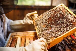Пчелиная аптека: чем поможет перга?