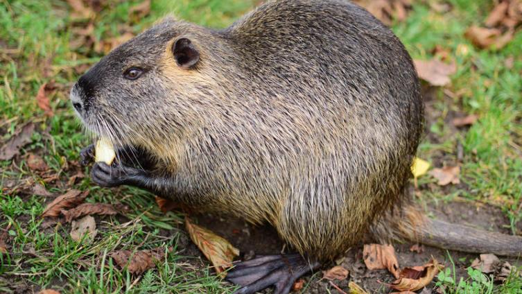 Откуда приплыла морская свинка? Грызуны-аборигены Нового Света
