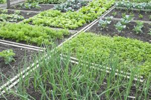 Смешанные посадки. Какие овощи можно сеять рядом?