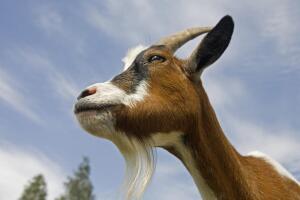 Что будет, если съесть козла?