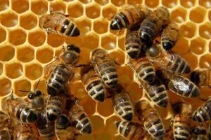 Можно ли держать пчел в городских условиях?