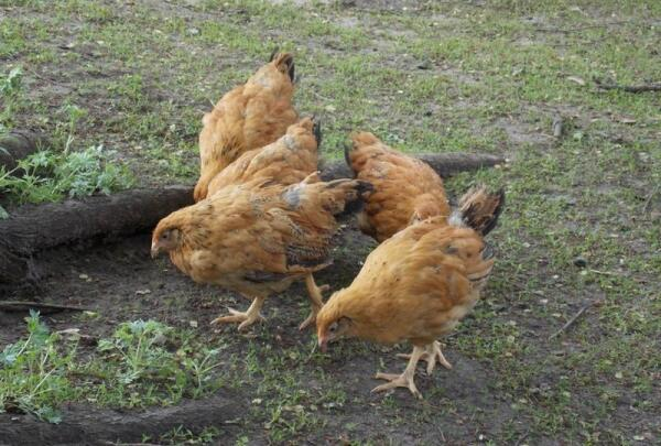 Подросшие цыплята породы Кучинская юбилейная