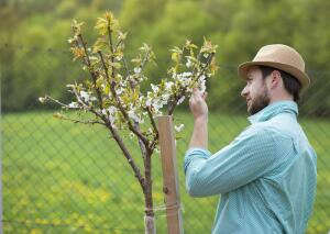 Как вырастить саженцы зелёным черенкованием?
