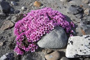 Камнеломка и её семейство. Чем оно привлекательно для цветоводов?